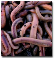 Worms_2